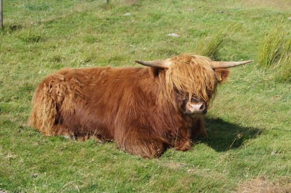 A hairy Highland cow. It only counts if you see them in the Highlands!!