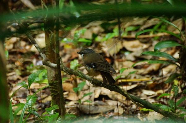 Bird at Mossman Gorge