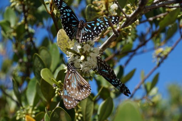 Butterflies at Cape Tribulation