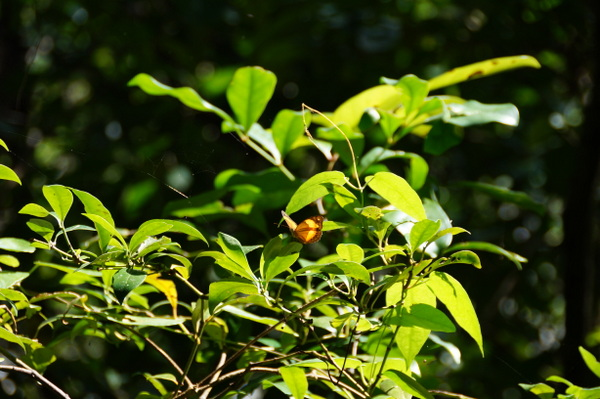 Butterfly at Cape Tribulation