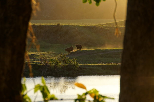 Cows at sunset on Daintree River