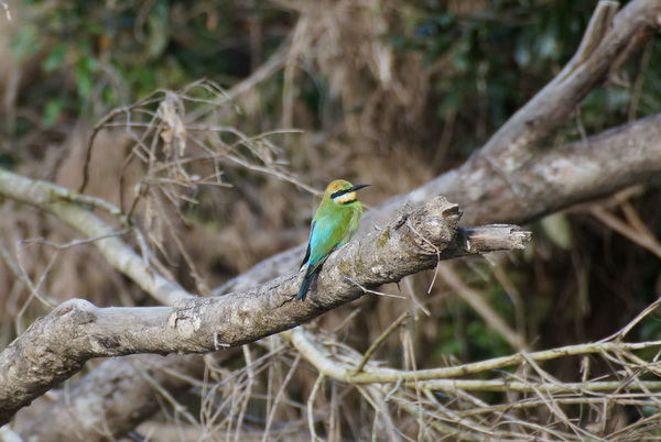 Daintree River bird