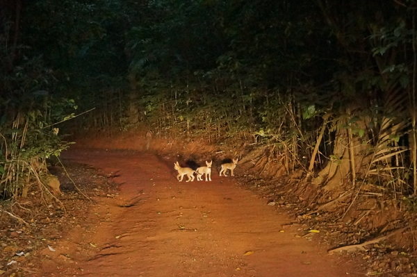 Dingo pups on the road