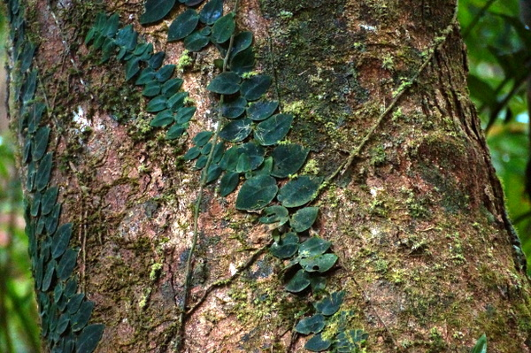 Leaves on a trunk at Mossman Gorge