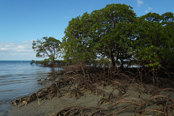 Mangroove roots at low tide on Myall Beach