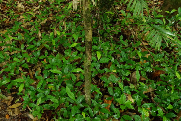 New growth at Mossman Gorge
