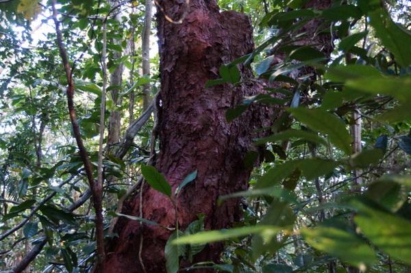 Red gum trees at Cape Tribulation