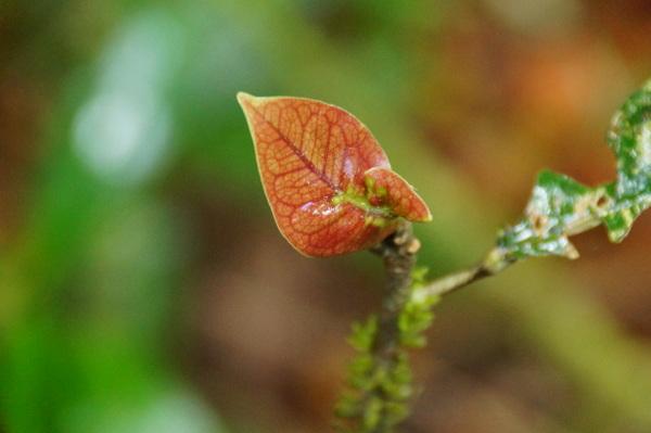 Single leaf at Mossman Gorge