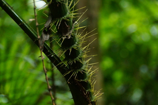 Spiky plant at Mossman Gorge