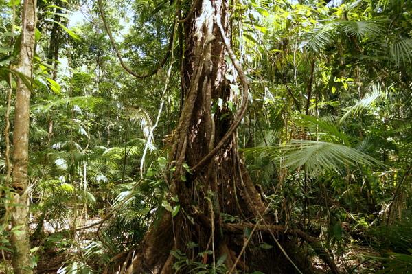 Tree along Jindalba Boardwalk