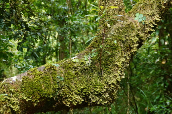 Tree branch at Mossman Gorge
