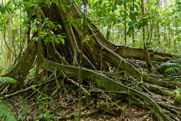 Tree roots at Mossman Gorge
