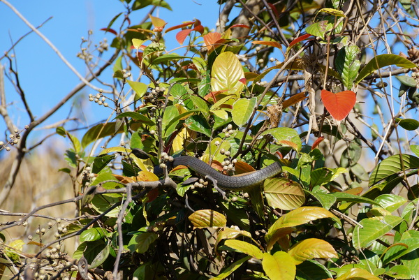 Tree snake on the Daintree River