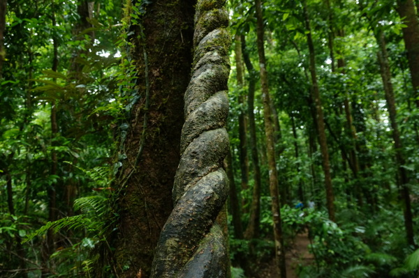 Twisted branches at Mossman Gorge