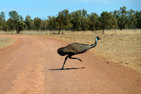 Emu crossing the road