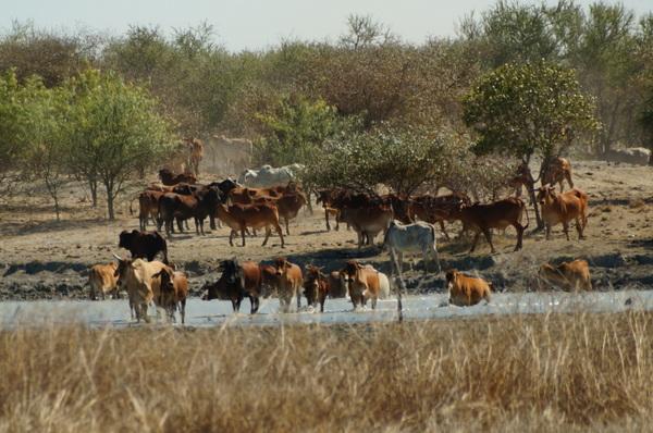 Herd through the water