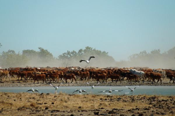 Pelicans flee the waterhole