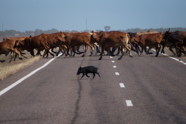 Wild pig crossing the road