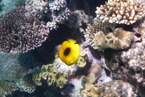 Yellow fishie