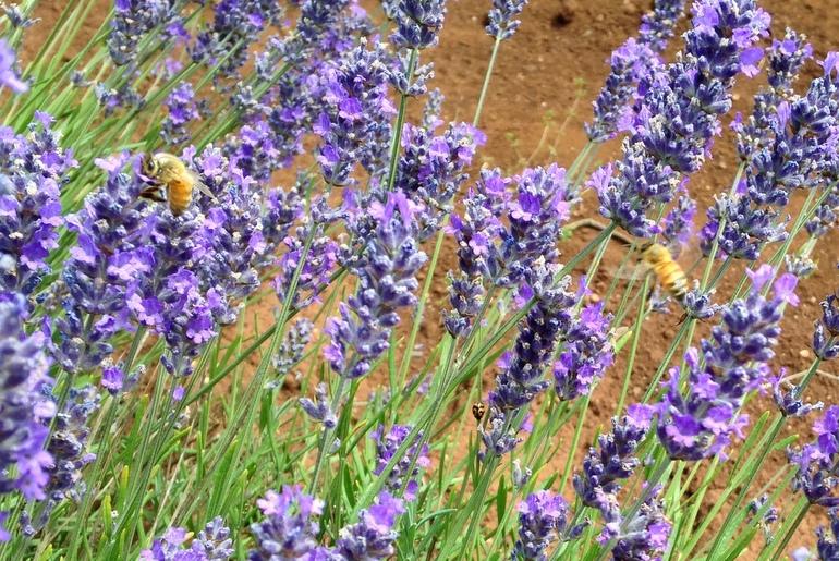 Bridestowe bees