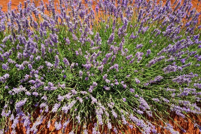 Bridestowe lavender bush