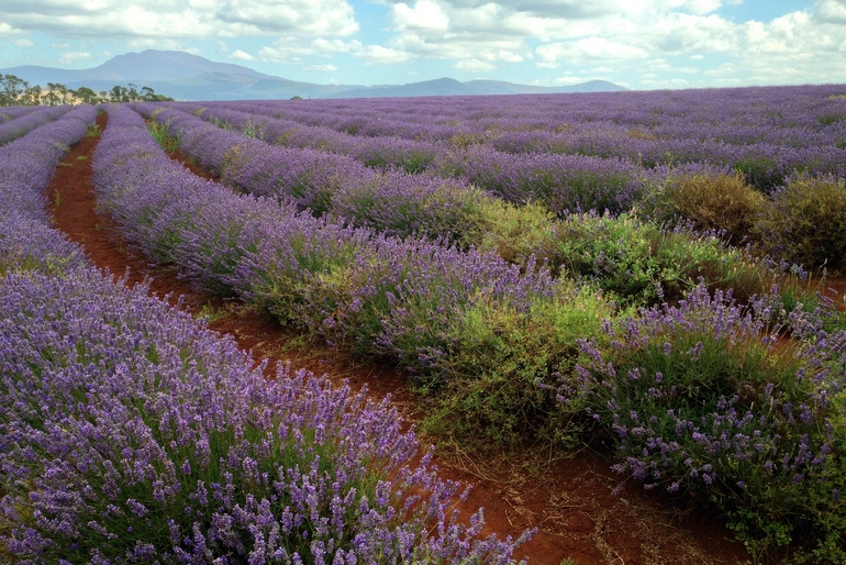 Bridestowe rows of lavender