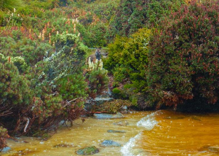 Wallaby at Lake Will