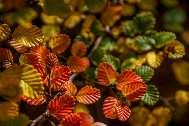 Turning of the fagus