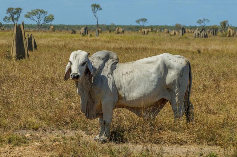 Beast on Nifold Plain - Rinyirru National Park