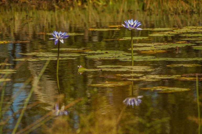 Lotus flowers - Rinyirru National Park