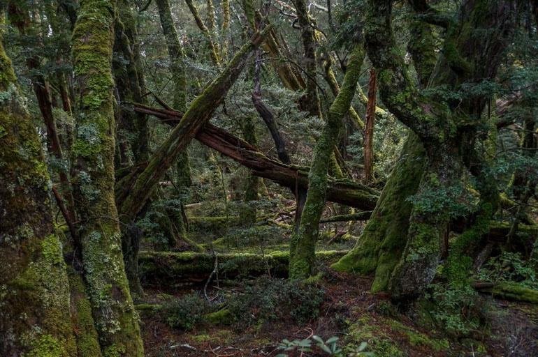 Rainforest Walk at Cradle Mountain