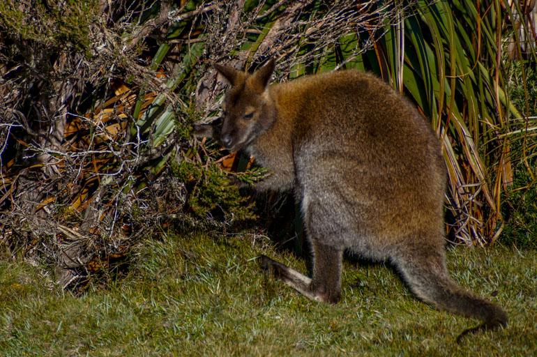 Wallaby, Cradle Mountain
