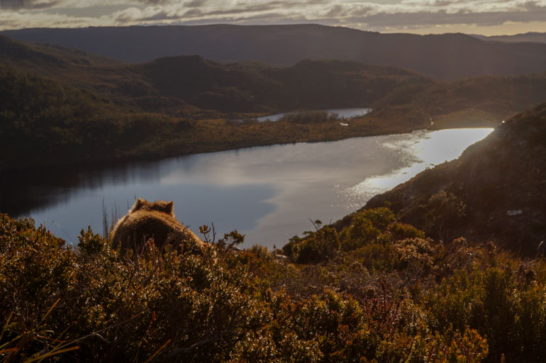 Wombat over Dove Lake, Cradle Mountain