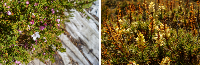 Flora along the Overland Track