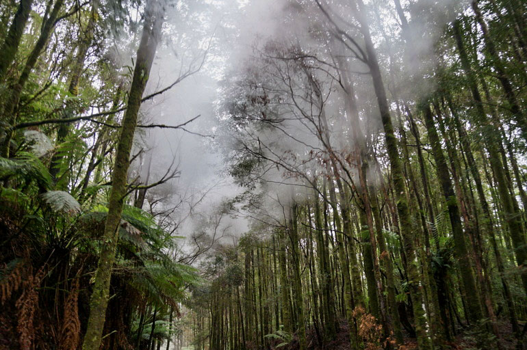 Steam in the tree tops, West Coast Wilderness Railway