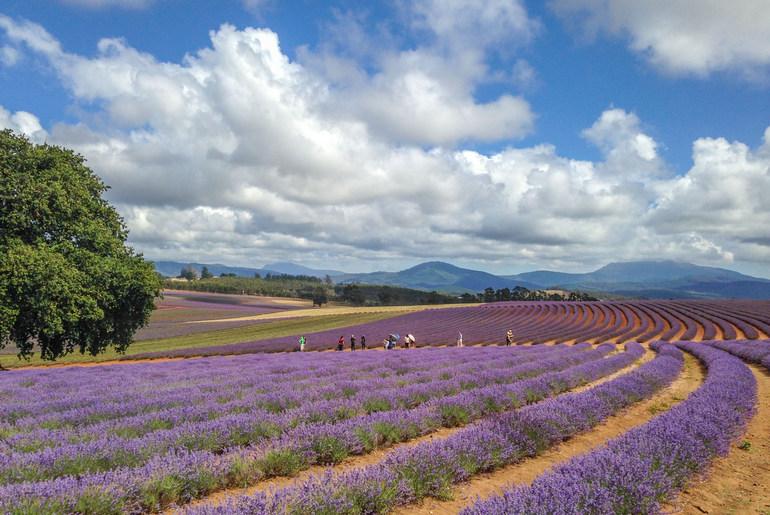 #42 Bridestowe Lavender Farm