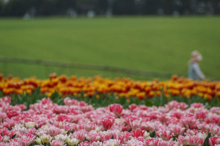 #10 Table Cape Tulip Farm