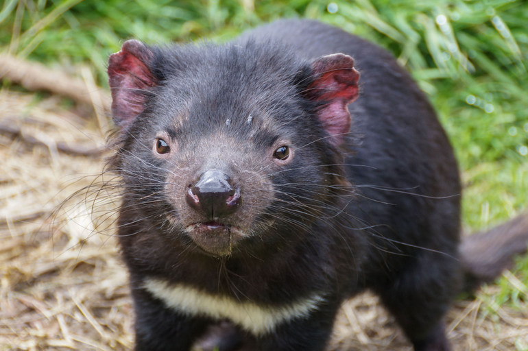 tasmanian-devil-at-devilscradle