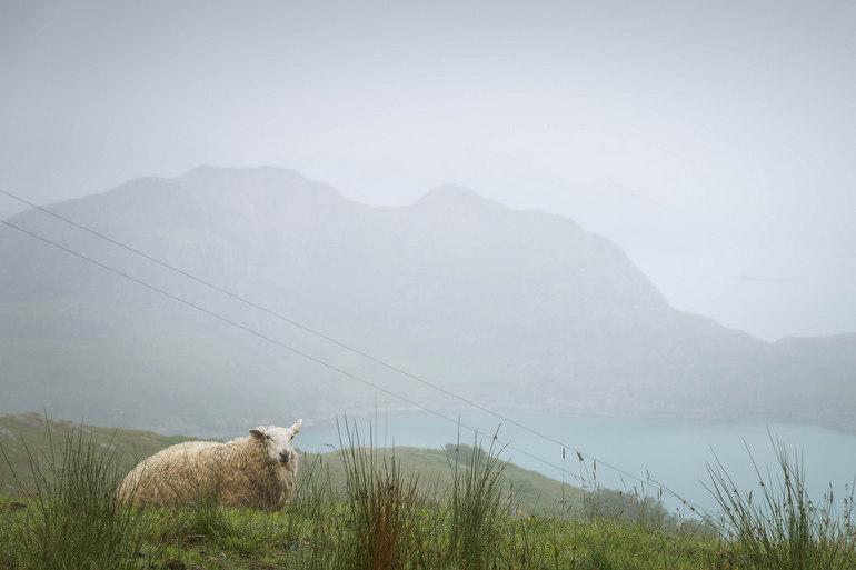 Sheep at Lower Diabaig